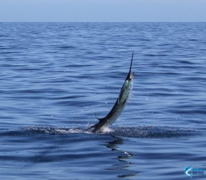 Sailfish Sportsfishing Montebello Islands WA Blue Lightning Billfishing Captain Chad Mills