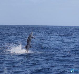 sailfish charter western australia