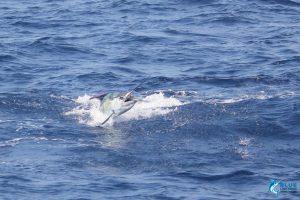 WA sailfish