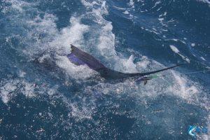 Sailfish caught on jig