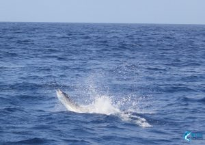 billfishing wa sailfish