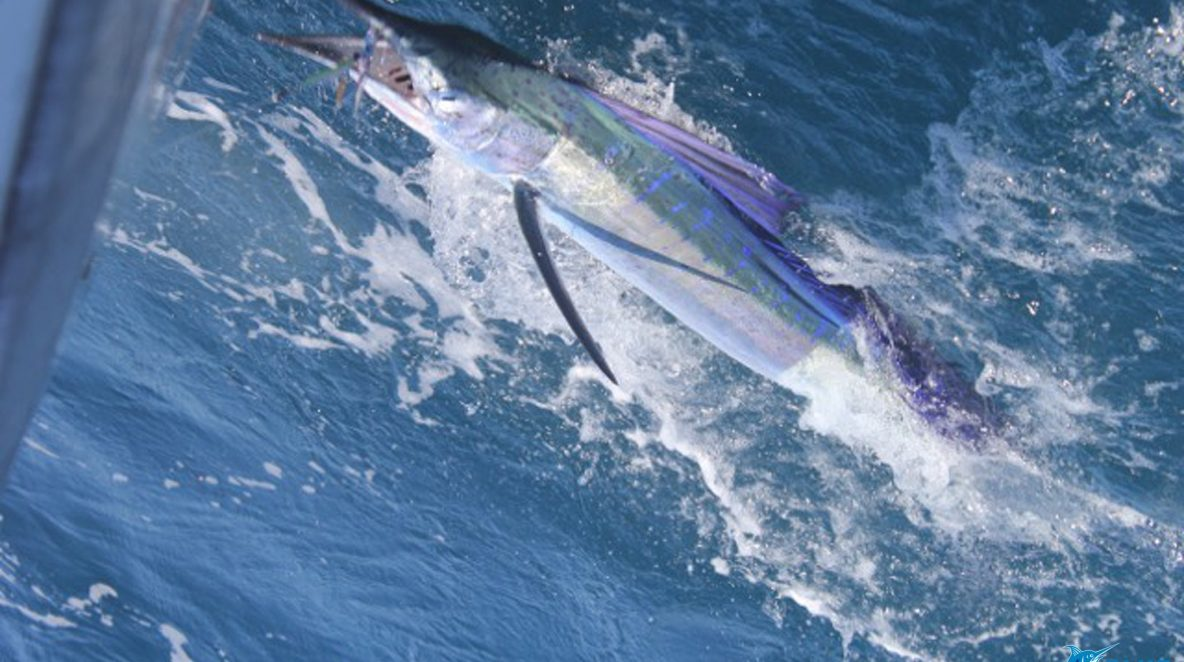 Sailfish western australia fishing charter
