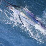 Sailfish western australia fishing charter