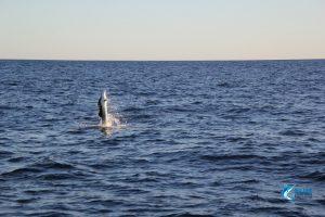 billfish australia wa