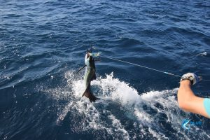 Blue lightning charters montebello islands leadering a sailfish