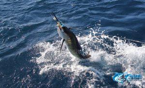 1st ever sailfish montebello islands wa