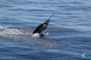 Billifish-Sailfish-Montebello-Islands-WA