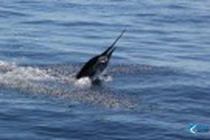 Billifish-Sailfish-Montebello-Islands-WA