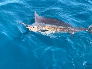 Sailfish Montebello Islands fishing charter