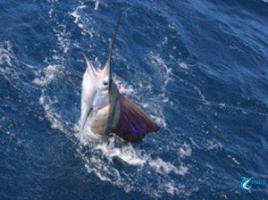 sailfish season montebello islands northern wa